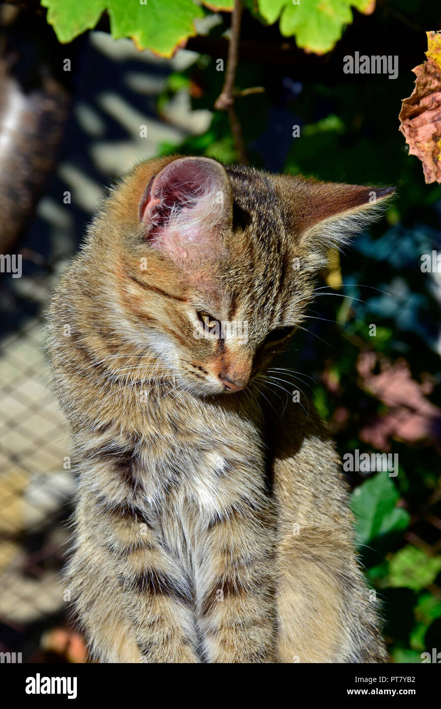 Close-up view on a striped, grey tabby kitten upright sitting in bright sunlight and bowing its head - Stock Image