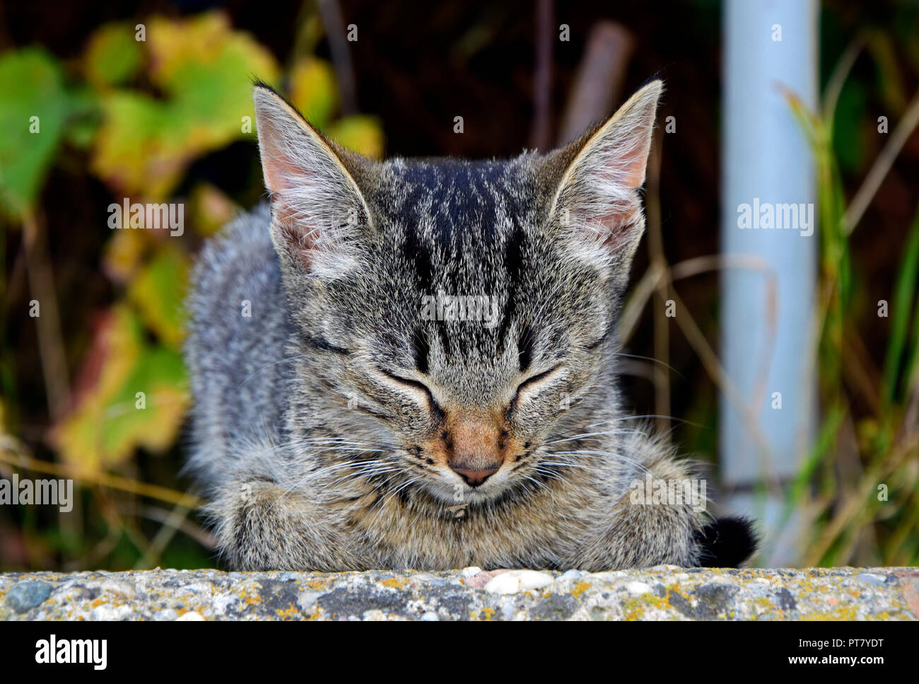 Frontal view portrait of a dark grey tabby kitten with brown nose dozing on a concrete slab with tucked in paws Stock Photo