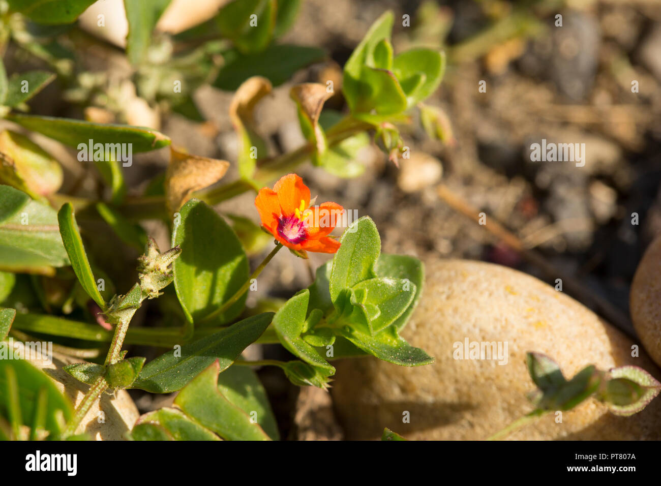 Flowering Scarlet Pimpernel, Anagallis arvensis, growing in shingle behind Chesil beach near the Isle of Portland. Dorset England UK GB. Stock Photo