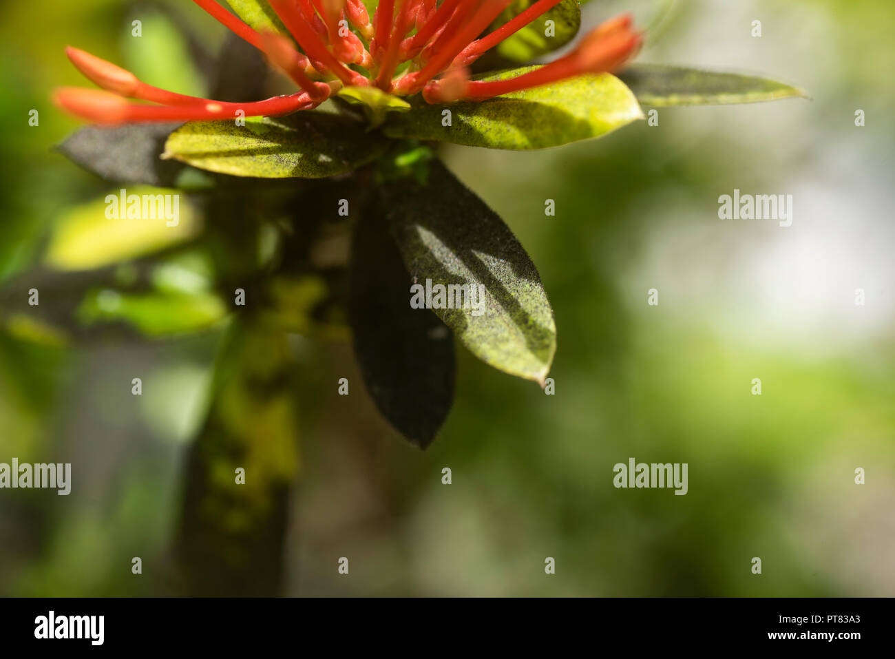 Black sooty mould on the leaves of an Ixora chinensis leaf - Stock Image