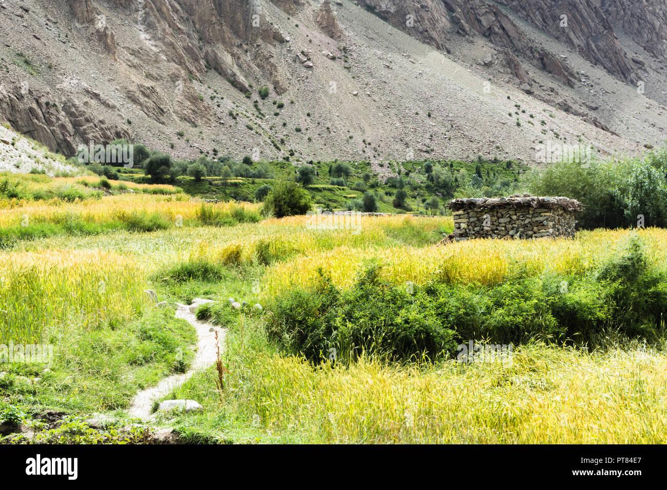 Wheat fields near Hushe village, Gilgit-Baltistan, Pakistan - Stock Image