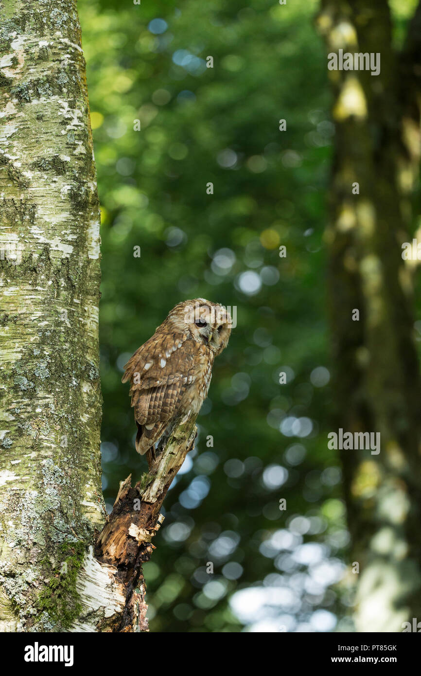 Tawny owl Strix aluco (captive), adult male, perhced in tree & calling, Hawk Consevancy Trust, Andover, Hampshire, UK, September - Stock Image