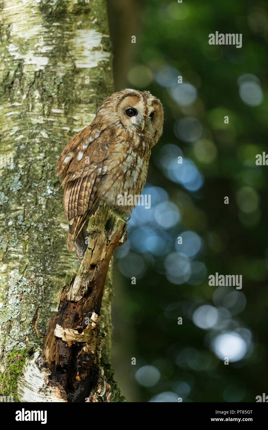 Tawny owl Strix aluco (captive), adult male, perhced in tree, Hawk Consevancy Trust, Andover, Hampshire, UK, September - Stock Image