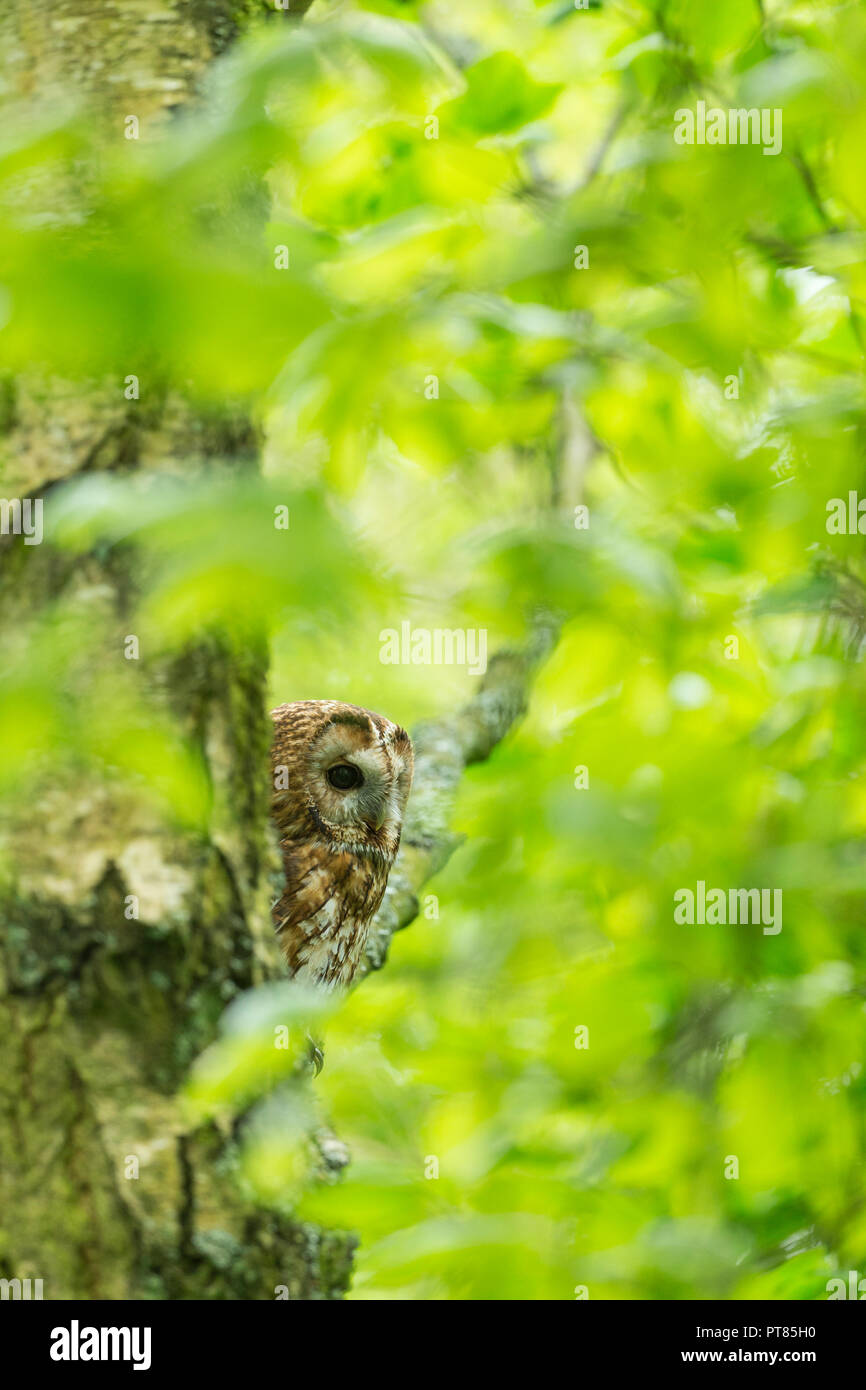 Tawny owl Strix aluco (captive), adult male, perched in woodland, Hawk Conservancy Trust, Andover, Hampshire, UK, April - Stock Image