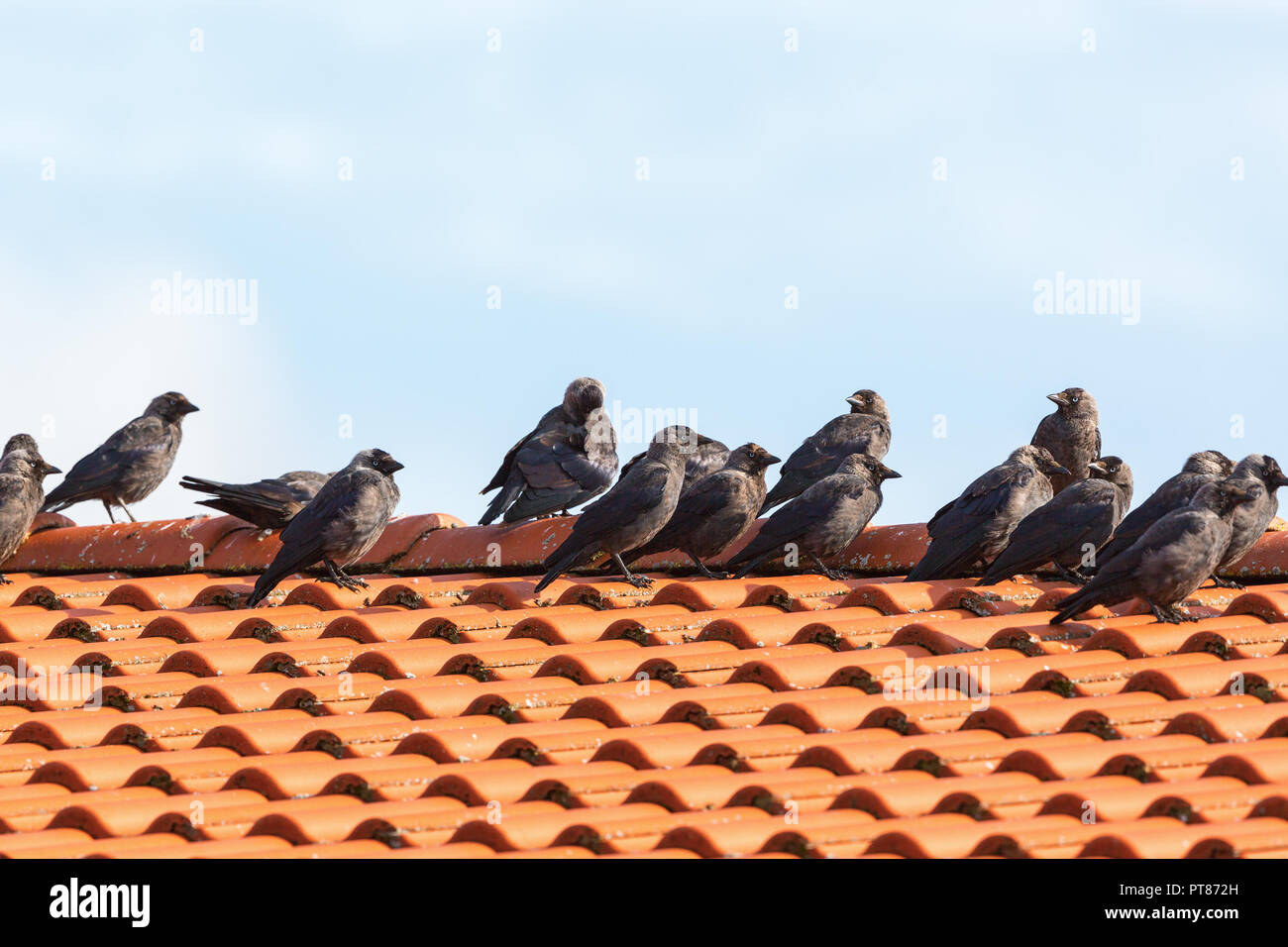 Jackdaws on the roof that sits in row - Stock Image