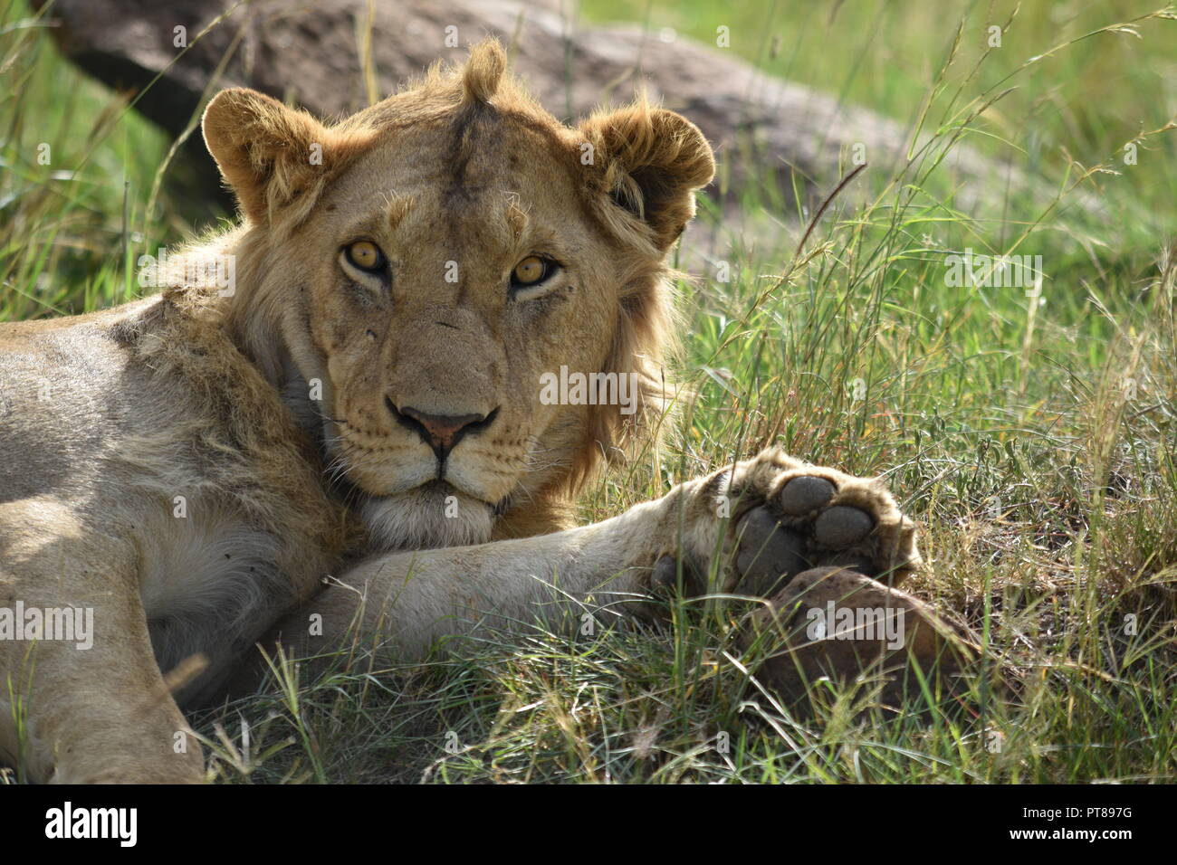 Young male lion relaxing in the African savanna. At the Masai Mara in Kenya. - Stock Image