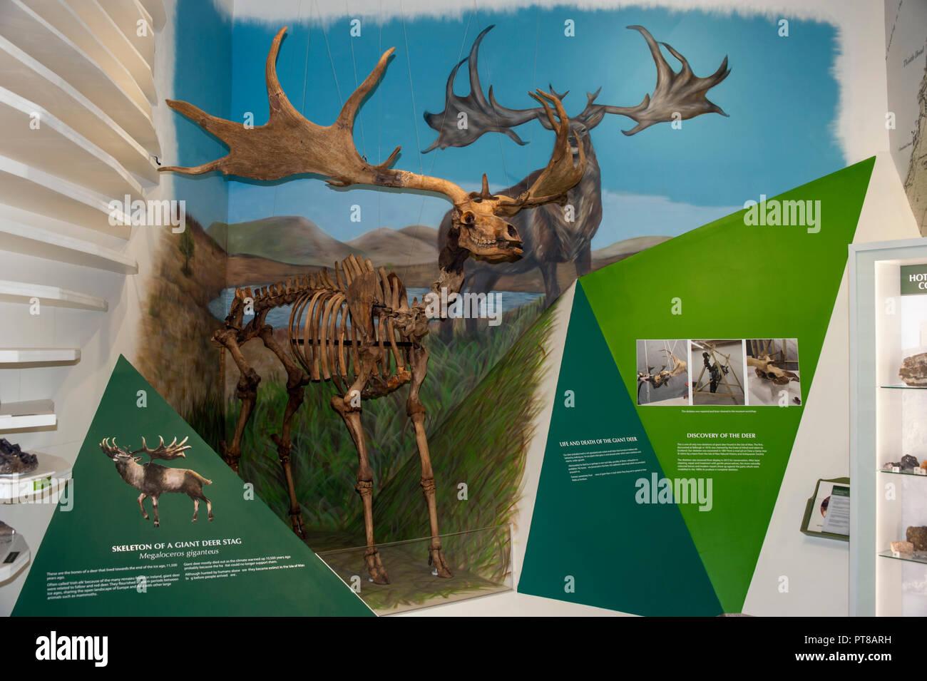 Great Deer Skeleton Exhibit, Manx Museum, Douglas, Isle of Man - Stock Image