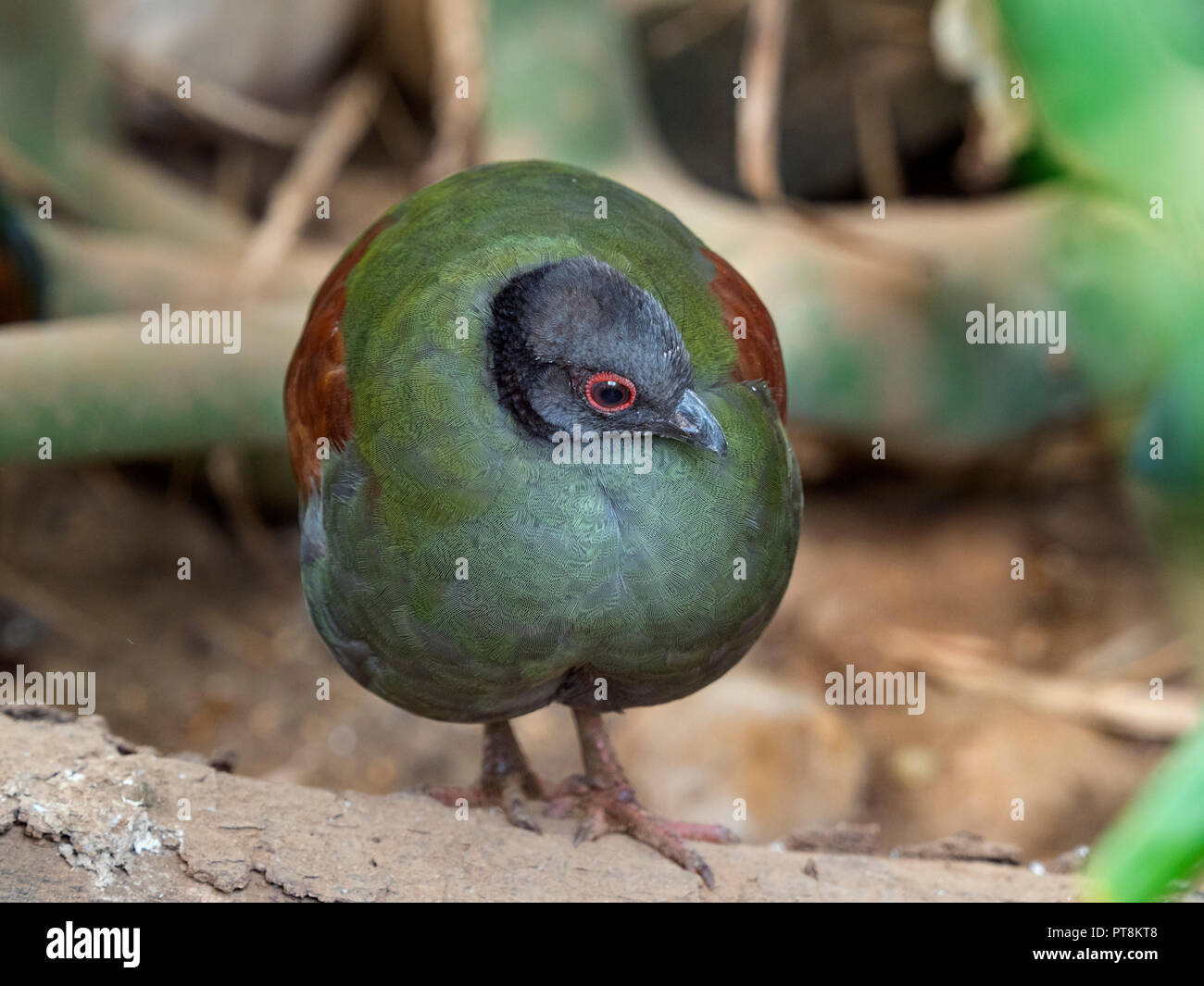 Female Crested wood partridge Rollulus rouloul. roul-roul, red-crowned wood partridge - Stock Image