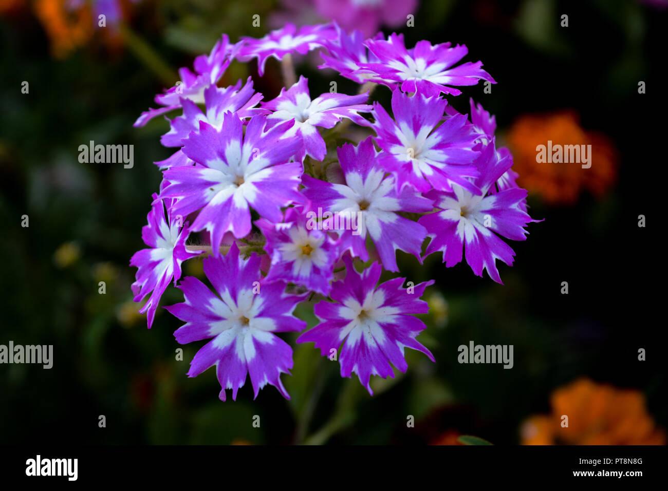Night jasmine stock photos night jasmine stock images alamy purple flowers captured in himachal pradesh india stock image izmirmasajfo