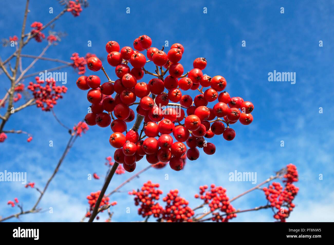 rowan berries on mountain ash, rowan tree, against blue sky. Stock Photo