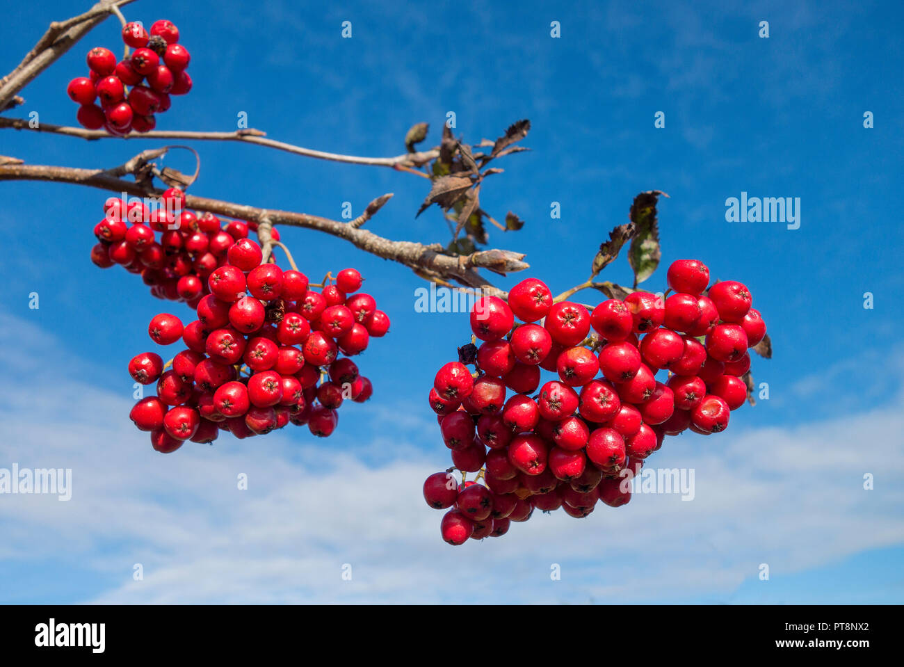 rowan berries on mountain ash, rowan tree, against blue sky. - Stock Image