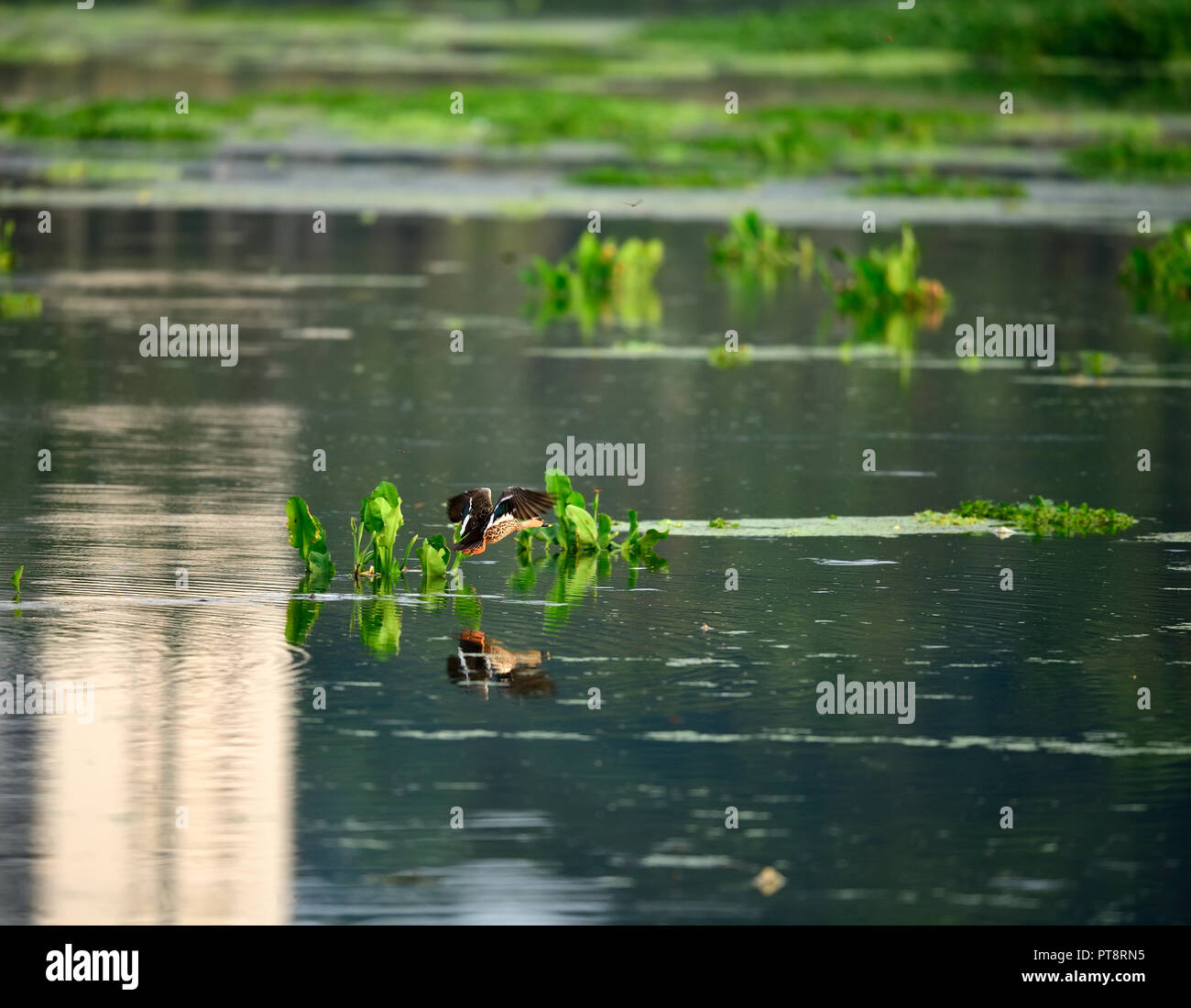 The Indian spot-billed duck is a large dabbling duck which is a non-migratory breeding duck throughout freshwater wetlands in the Indian subcontinent. Stock Photo