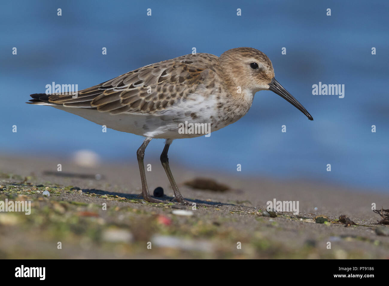 Dunlin (Calidris alpina), first winter individual standing on the shore Stock Photo