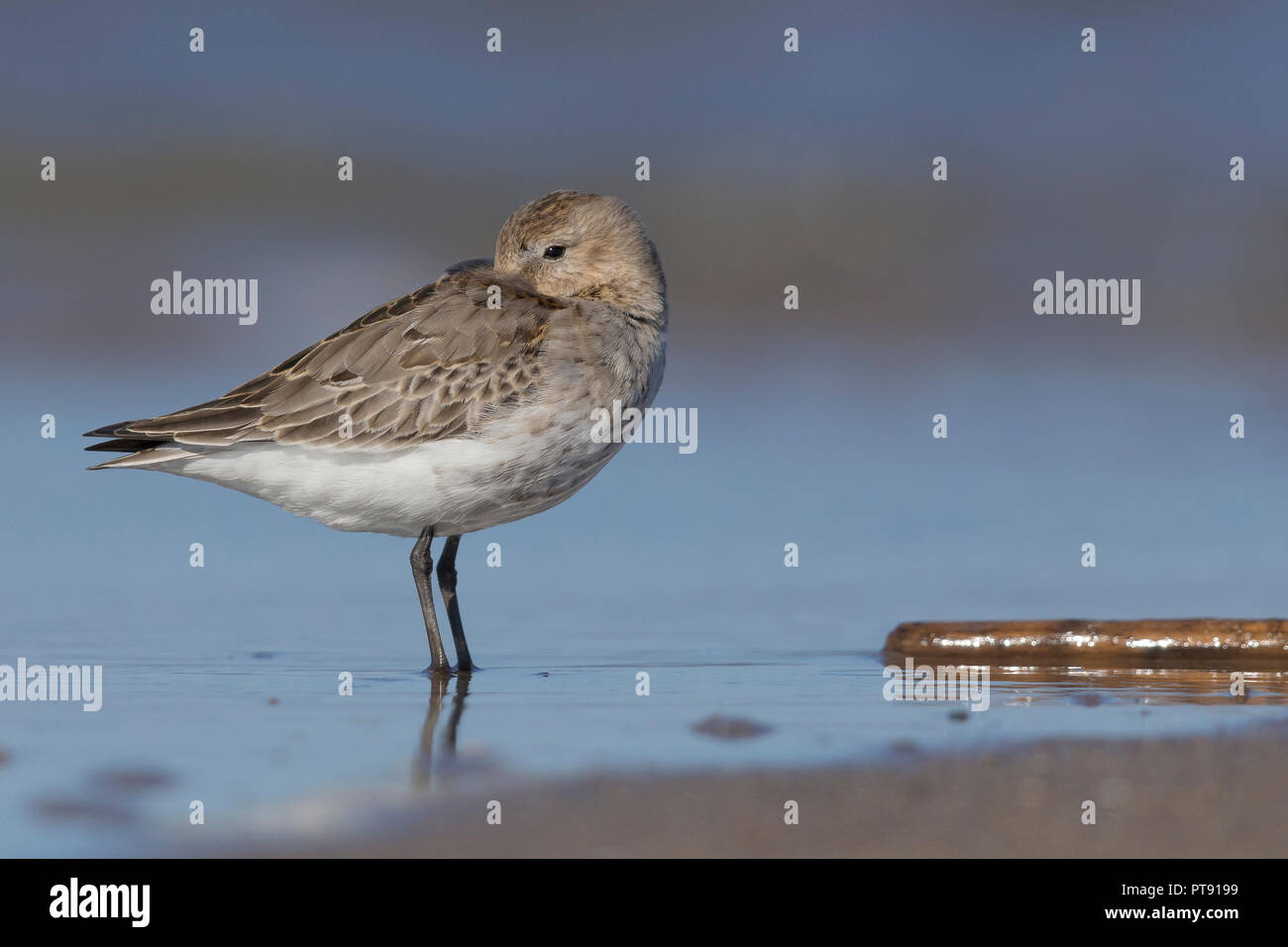 Dunlin (Calidris alpina), first winter individual resting on the shore Stock Photo