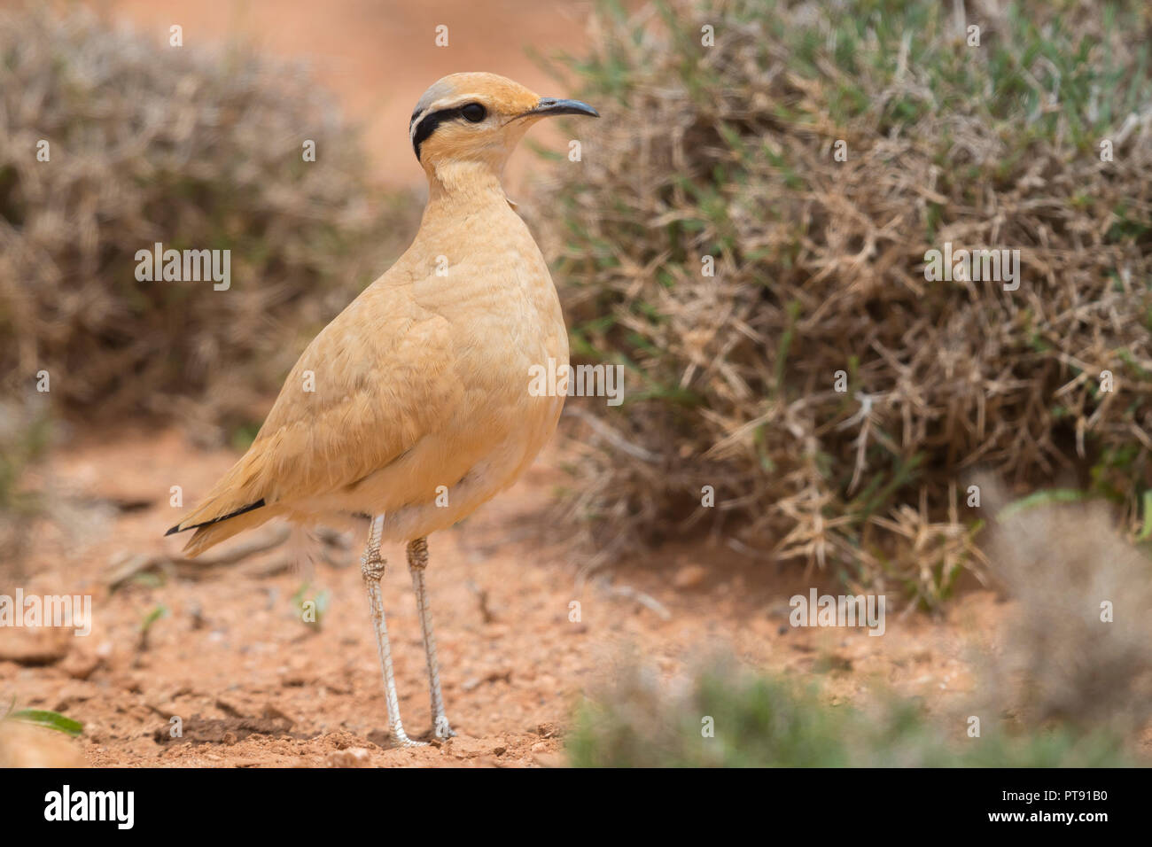 Cream-colored Courser (Cursorius cursor), side view of an adult standing on the ground in its typical habitat in Morocco - Stock Image