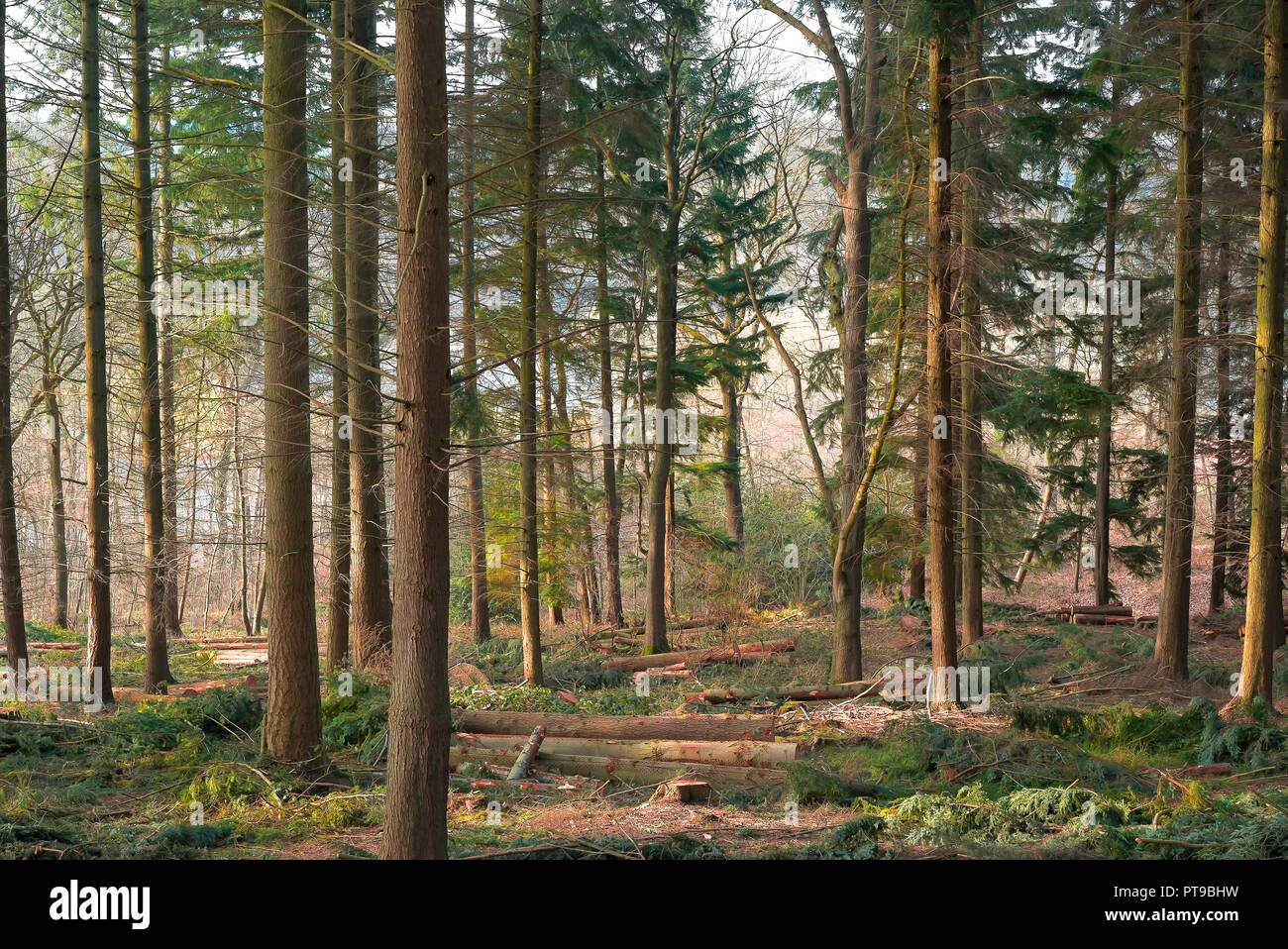 Landscape shot inside UK woodland on a cold February morning in the sunshine where some trees have been felled and are lying on forest floor. - Stock Image