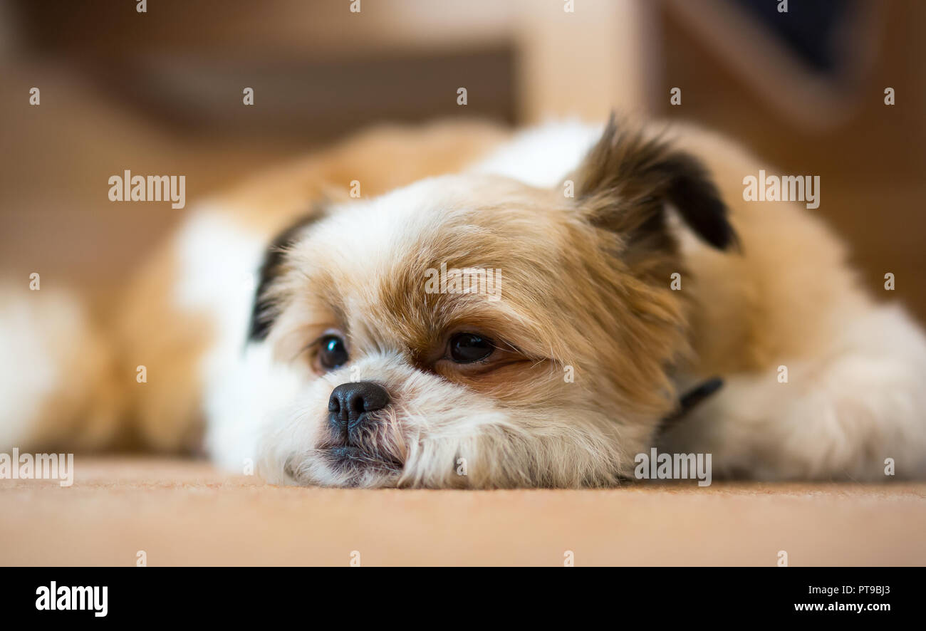 Detailed, landscape close up of cute, sleepy Pomeranian Shih Tzu dog, at home, lying inside on carpet, chin on floor, one ear humorously cocked. - Stock Image