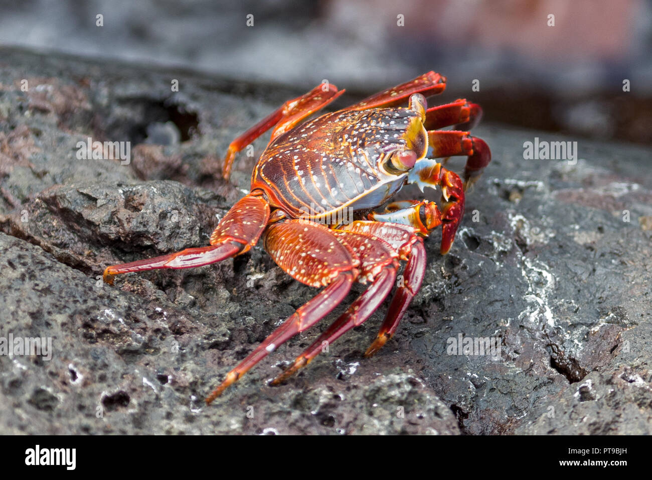Sally Lightfoot Crab (Grapsus Grapsus) on volcanic rock, promenade, Puerto Baquerizo Moreno, Playa de los Marinos,  San Cristobal island, Galapagos is - Stock Image