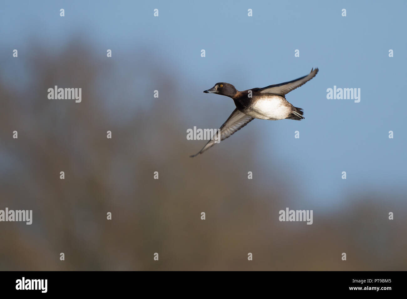 Landscape capture of a single, wild tufted duck (Aythya fuligula) in flight, wings out to the side as if soaring or gliding in the air. Adult female. - Stock Image