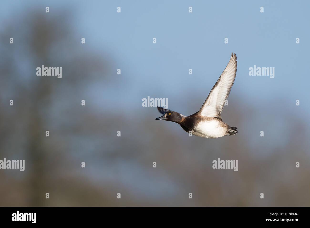 Landscape capture of single, wild tufted duck in flight, wings raised in upwards stroke. Adult female tufted duck in midair, natural outdoors setting. - Stock Image