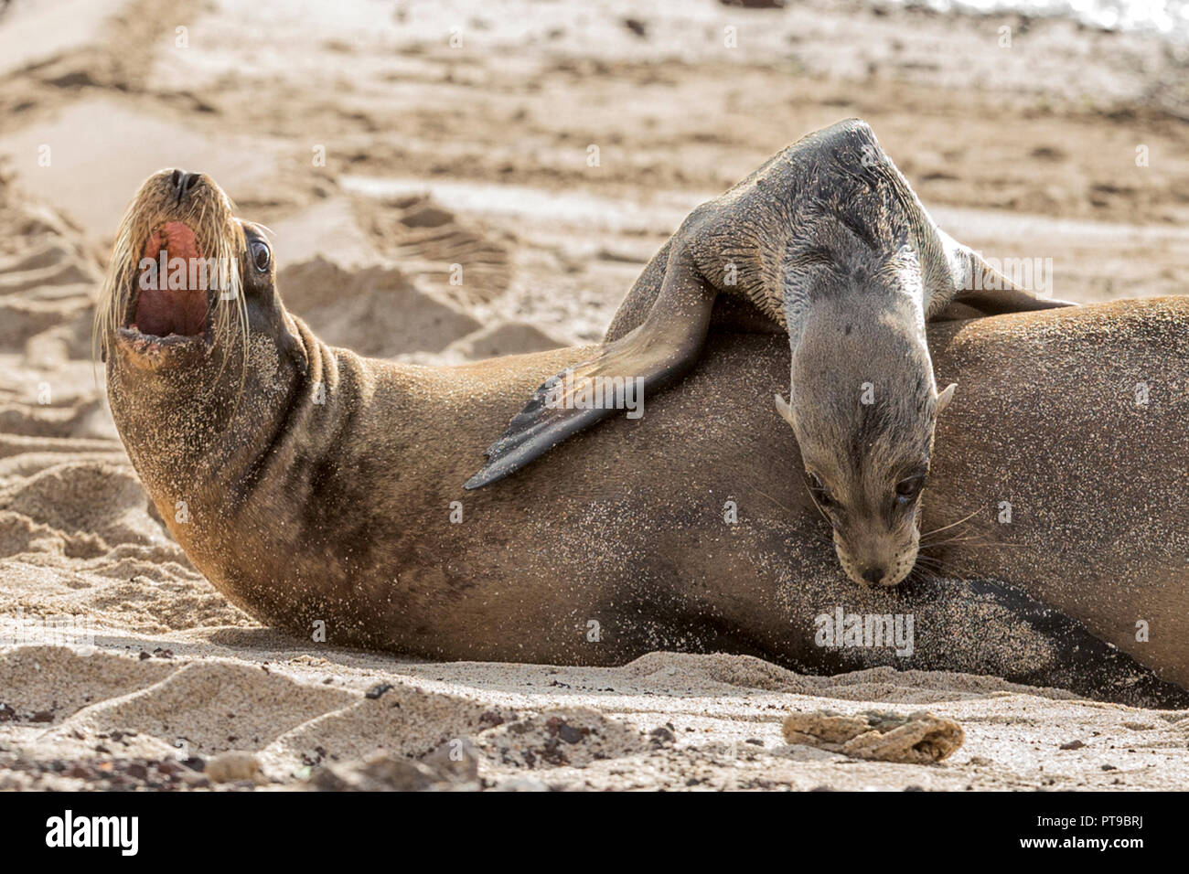 Sealion calf & mother showing aggression to pup requesting milk,  Puerto Baquerizo Moreno, San Cristobal island, Galapagos islands, Ecuador, - Stock Image
