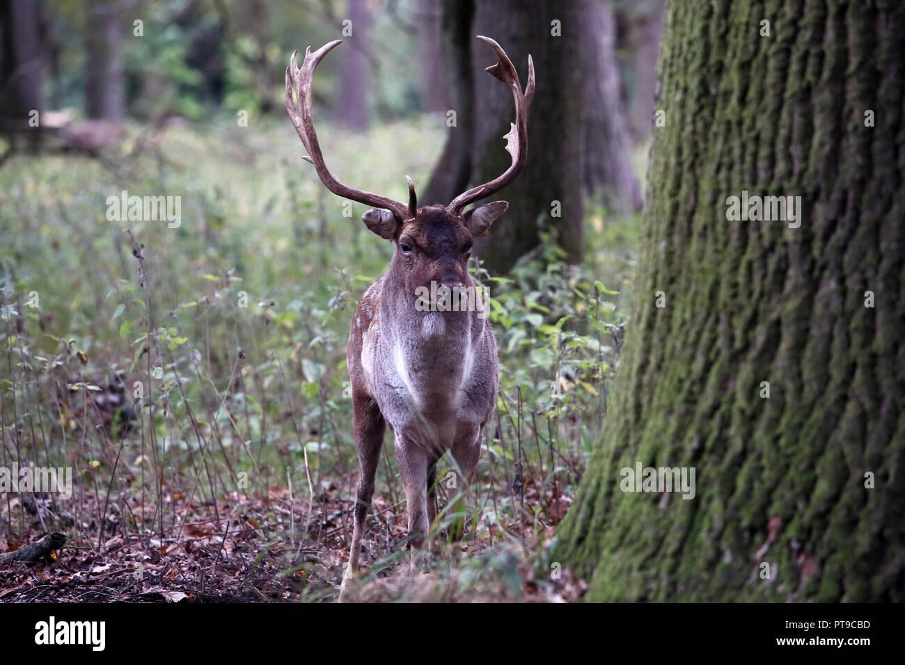 Stag Deer in Phoenix Park Dublin Ireland - Stock Image