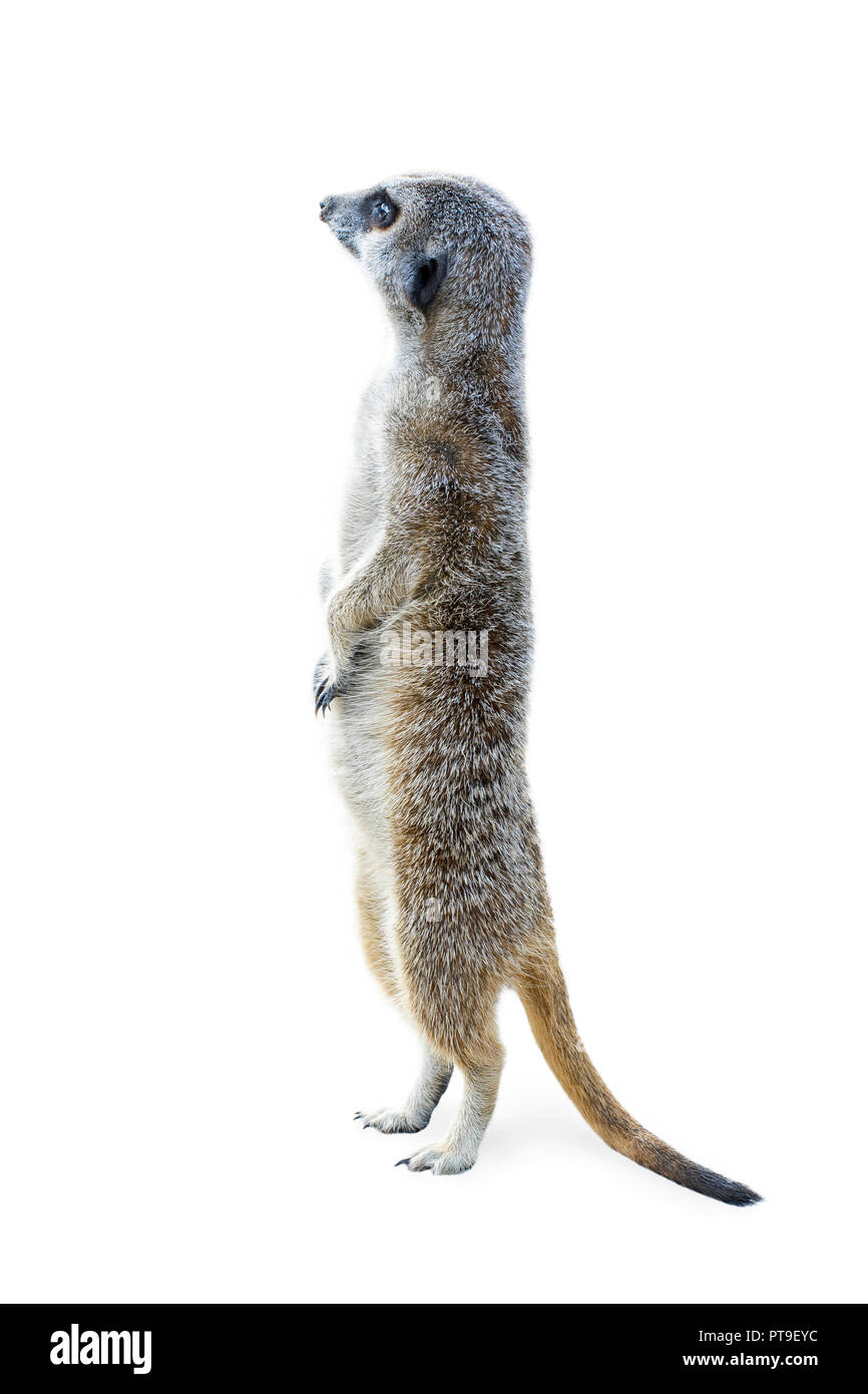 Portrait of a meerkat standing upleft and looking alert isolated on white background. - Stock Image