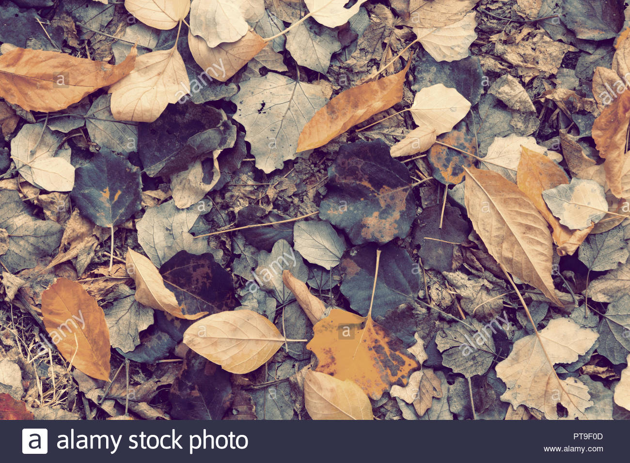 Old dry autumn yellow and gray leaves in blue tone. Texture or background - Stock Image