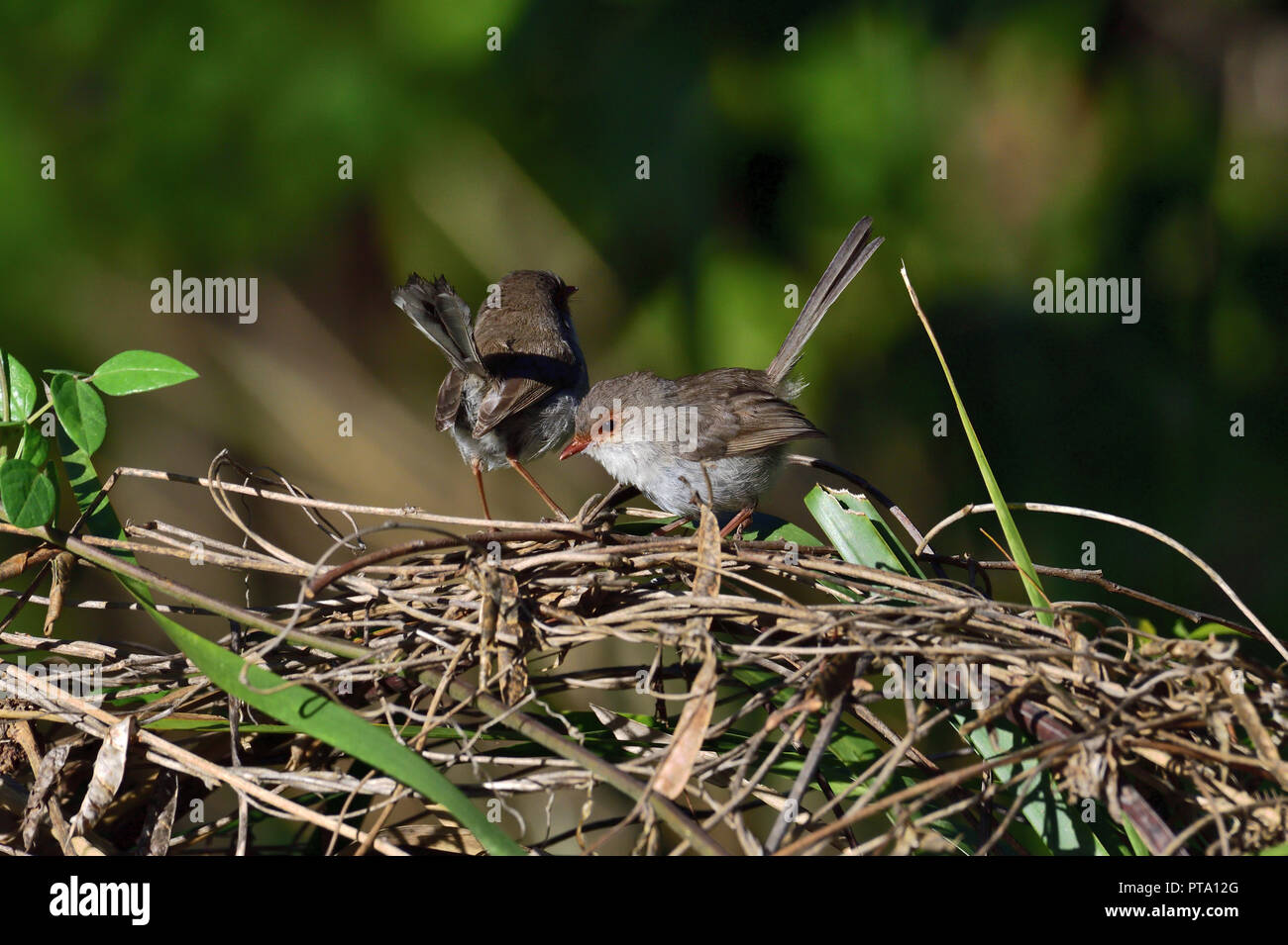 Two Australian, Queensland Female Superb Fairy-wrens ( Malurus cyaneus ) perched on a tree branch - Stock Image
