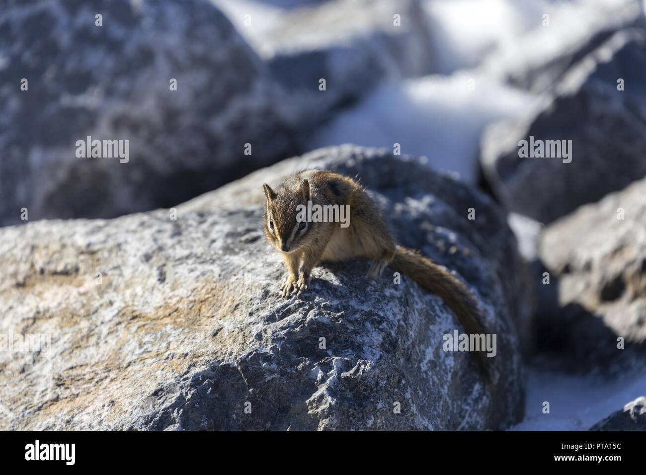 Chipmunk (Tamias Sciuridae) Stone Rabbit Animal standing on Rock and mooching for Food in Canadian Rocky Mountains - Stock Image