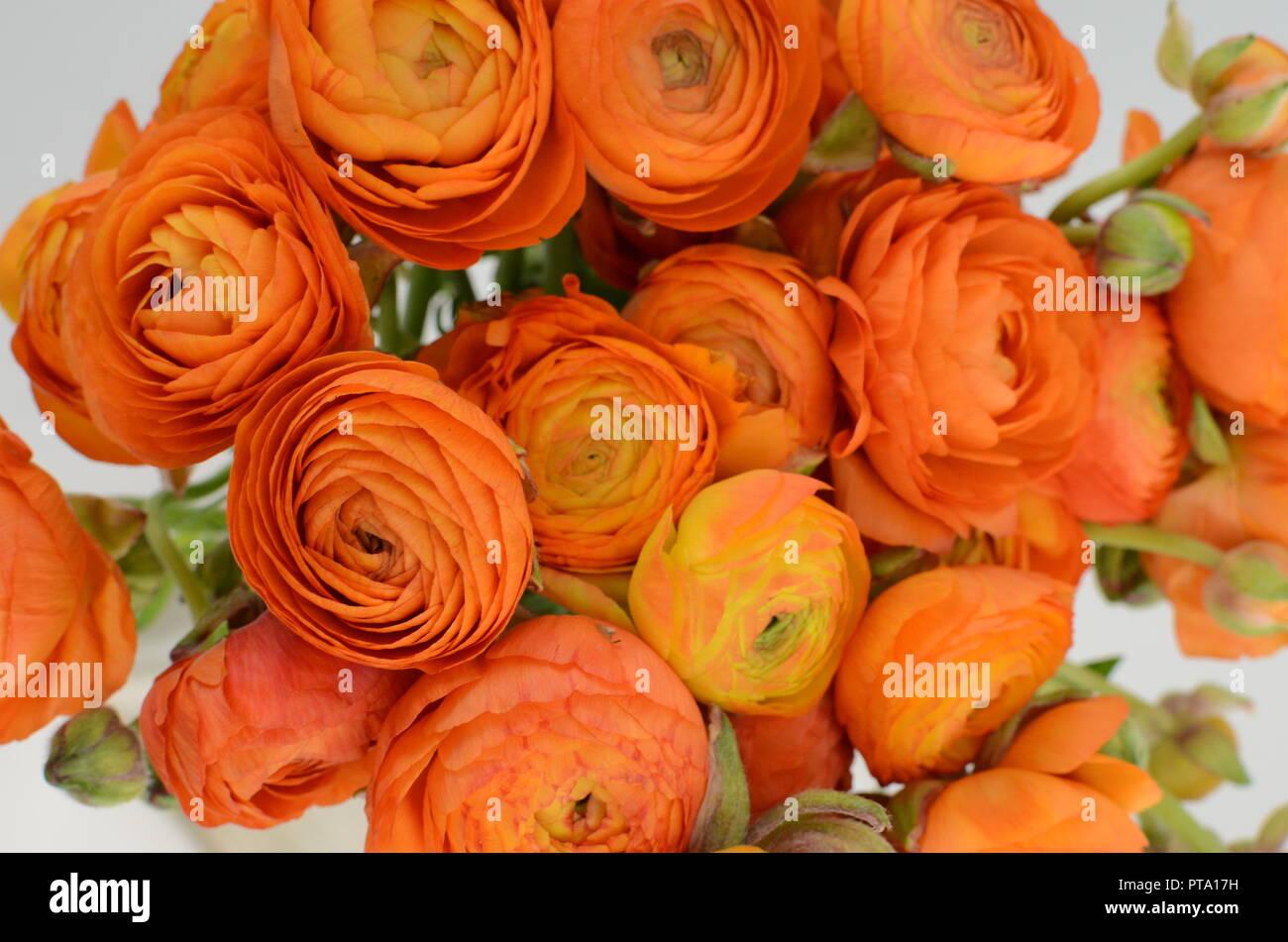 Persian Buttercup Bunch Pale Orange Ranunculus Flowers Light Background Wallpaper Stock Photo Alamy