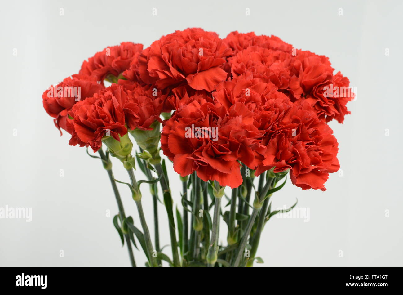 Beautiful Red Carnation Flower Isolated On White Background Stock