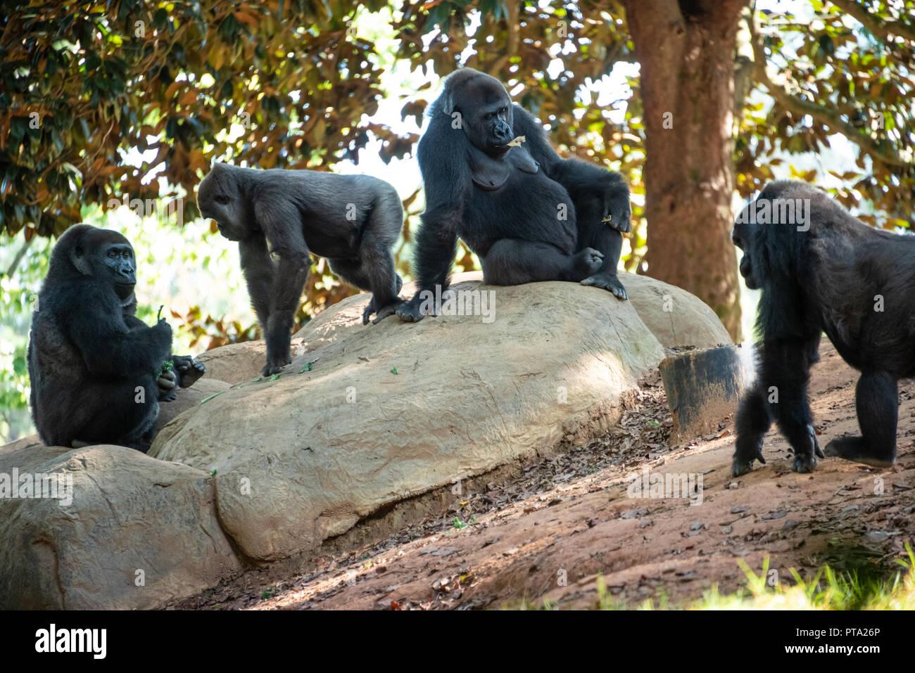 Western lowland gorillas at Zoo Atlanta near downtown Atlanta, Georgia. (USA) - Stock Image