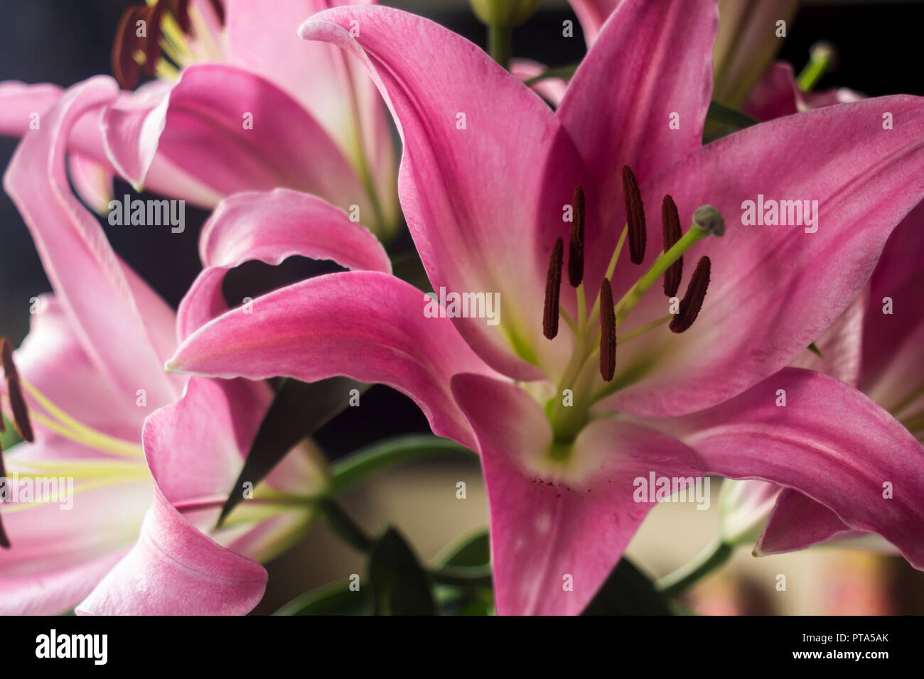 Blooming pink lily flowers close uptals of pink color brown blooming pink lily flowers close uptals of pink color brown stamens and green pistilckground for a site about flowersnatureart and bouquets izmirmasajfo
