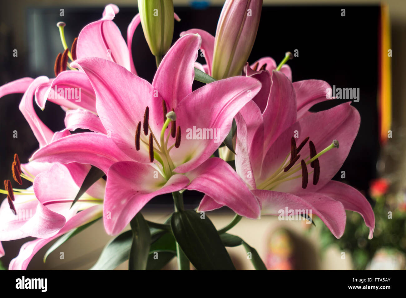 Blooming Pink Lily Flowerstals Of Pink Color Brown Stamens