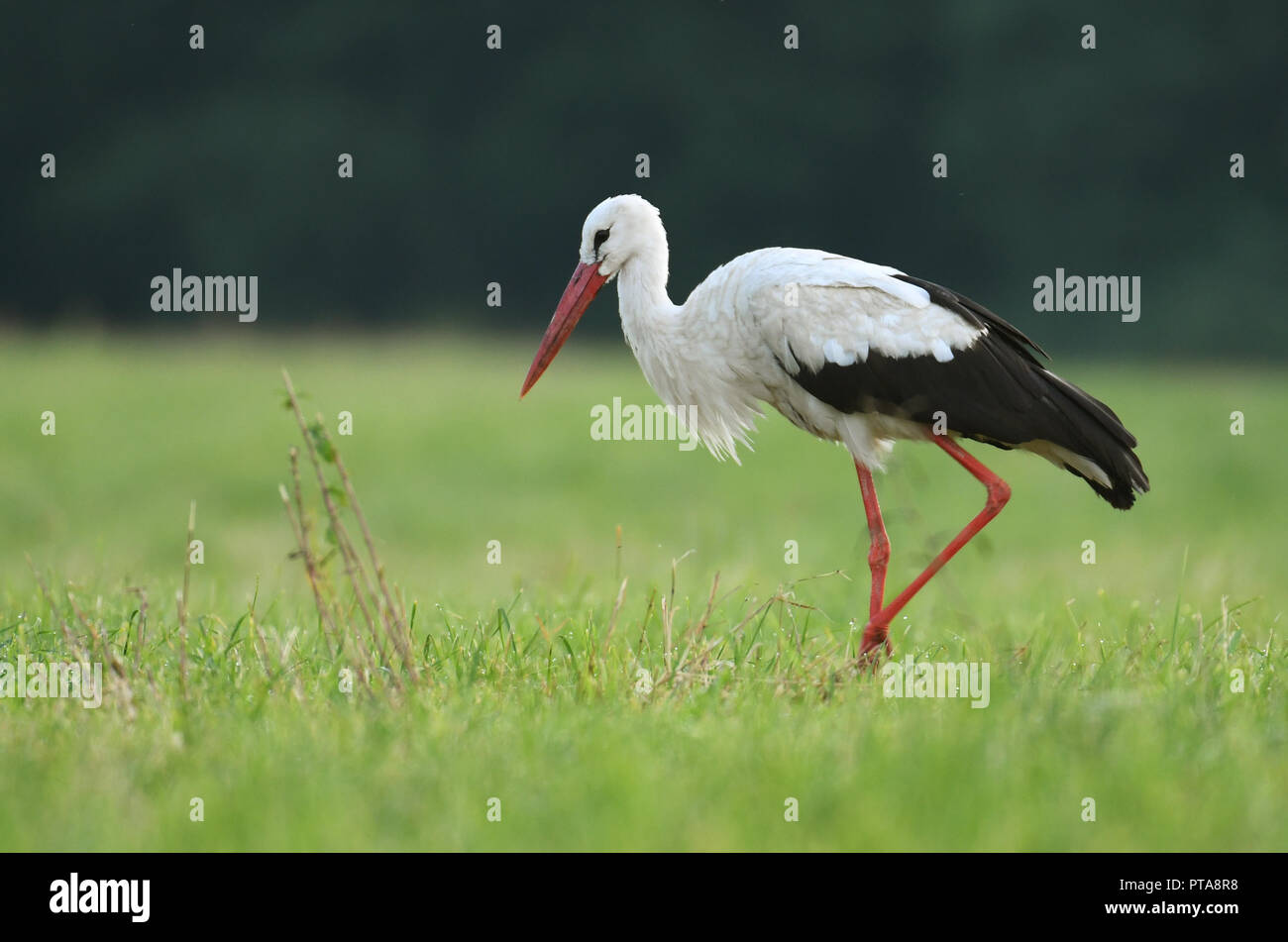 White stork (Ciconia ciconia) hunting on the meadow Stock Photo