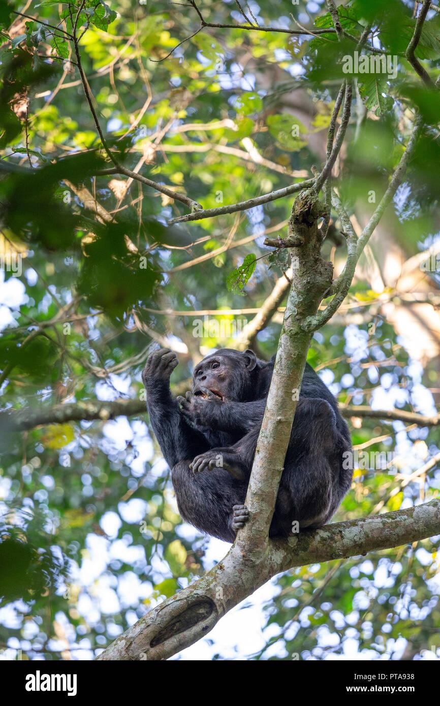 Common Chimpanzee, Pan troglodytes, Foret Naturelle Cyamudongo, Nyakabuye, Rwanda, July 16, 2018. (CTK Photo/Ondrej Zaruba) - Stock Image