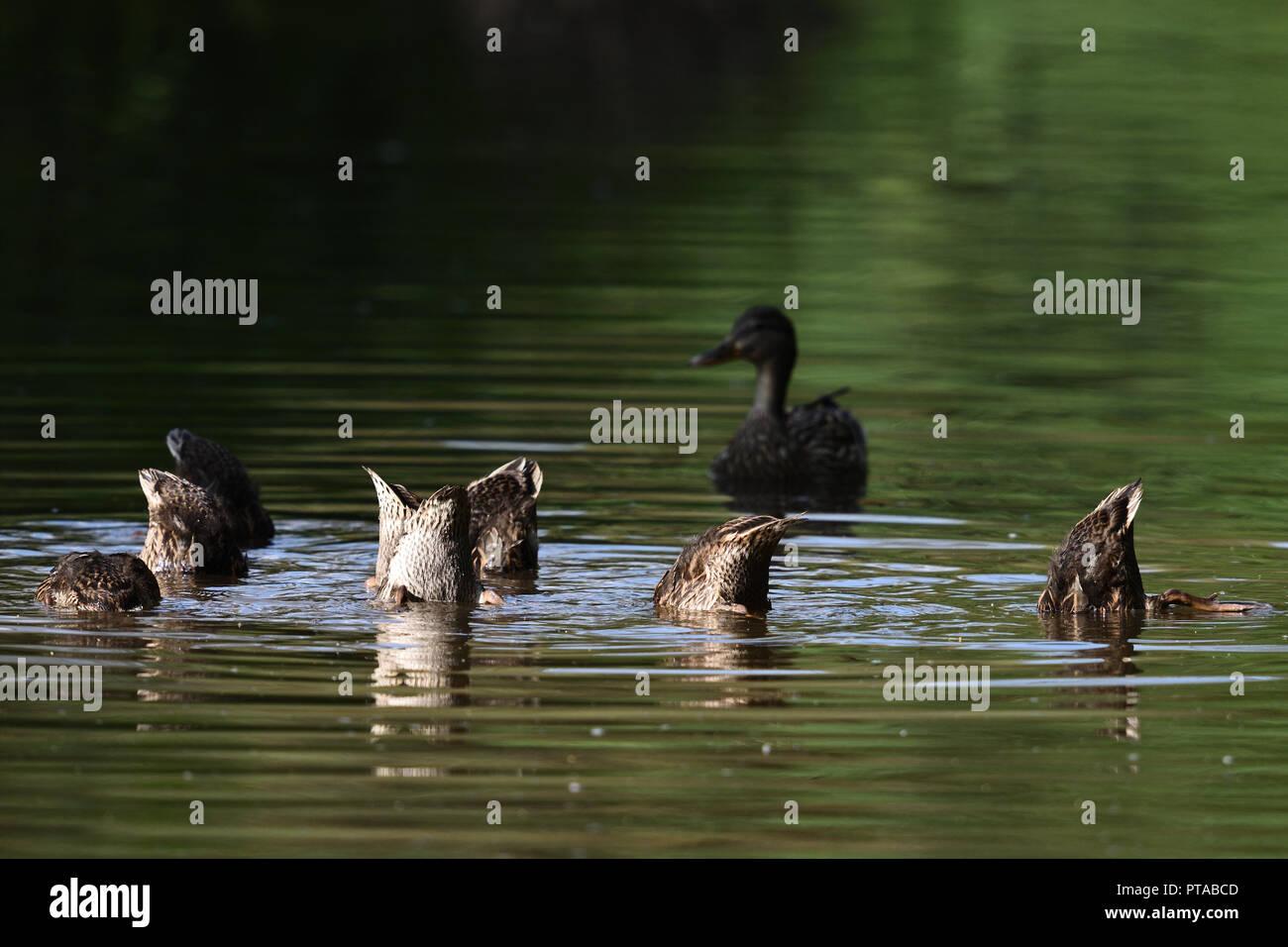 Die fast erwachsenen Entenkueken werden bei ihrer Futtersuche noch von der Mutter bewacht -the young ducks are still guarded at foraging by her mother - Stock Image
