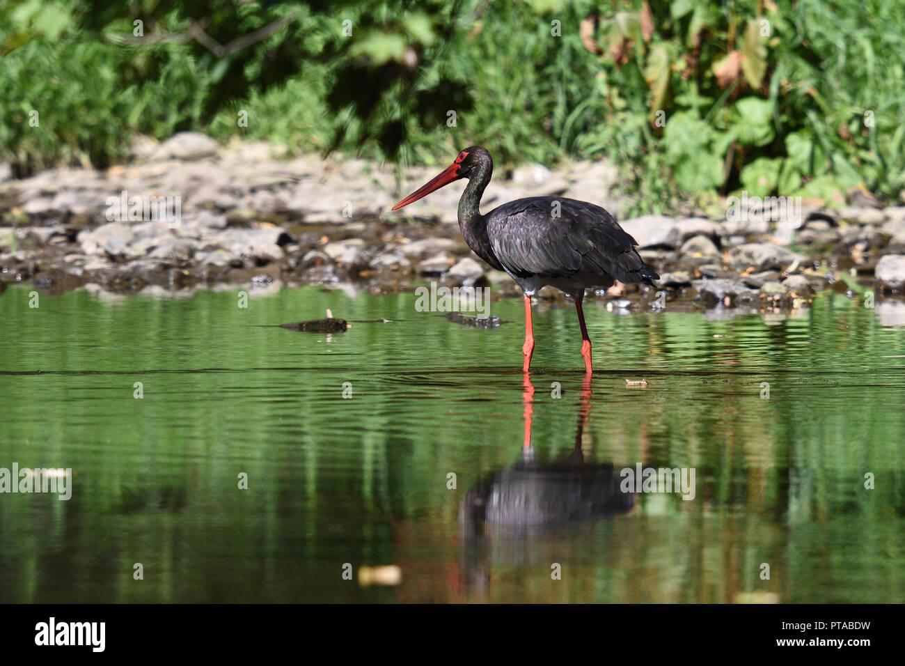 Ein Schwarzstorch auf Futtersuche (a black stork is foraging) - Stock Image