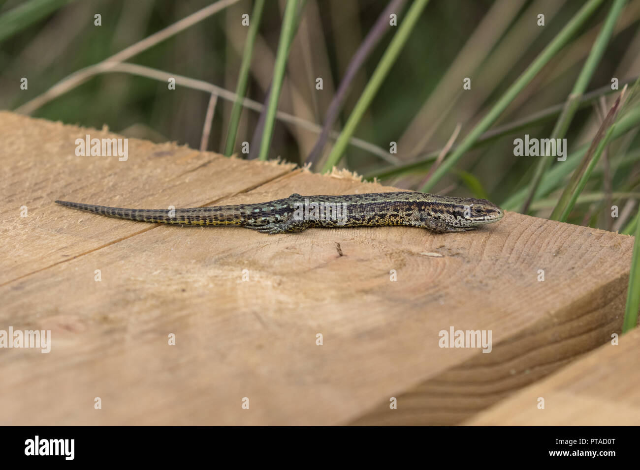 A close up of a common lizard (Lacerta Zootoca vivipara) basking on the boardwalk at Thursley Common National Nature Reserve - Stock Image