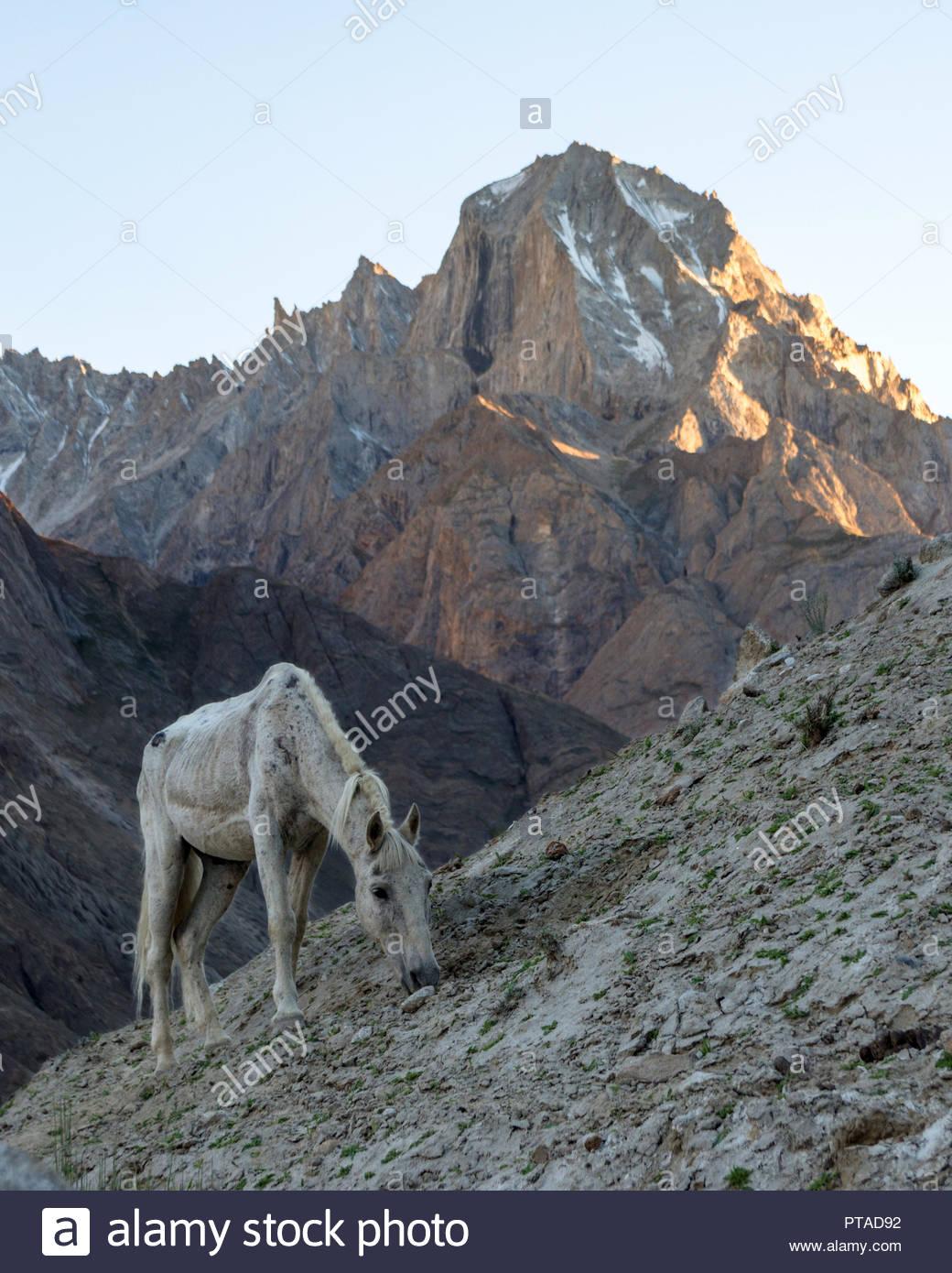 White horse grazing on the slopes near Payu campsite, Karakoram, Pakistan - Stock Image