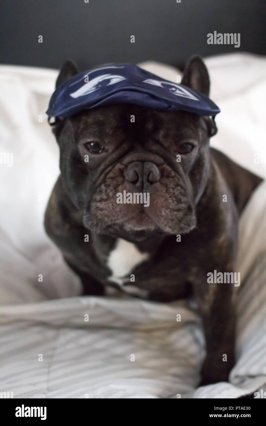 french bulldog dog dreaming with eye mask in bed - Stock Image