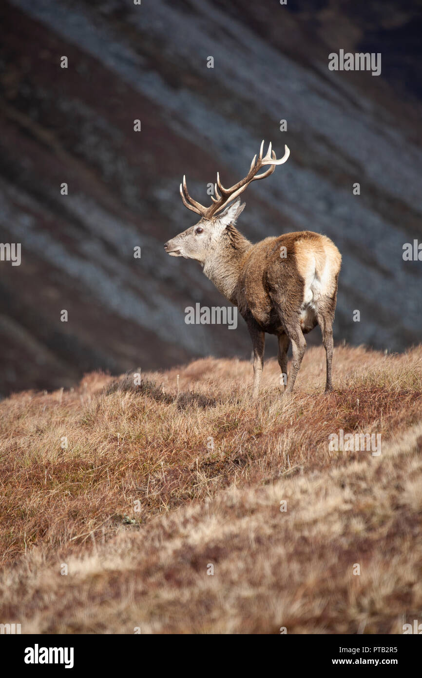 Red Deer stag Cervus elaphus with large antlers in the Scottish Highlands on a bleak and wet winter day - Stock Image