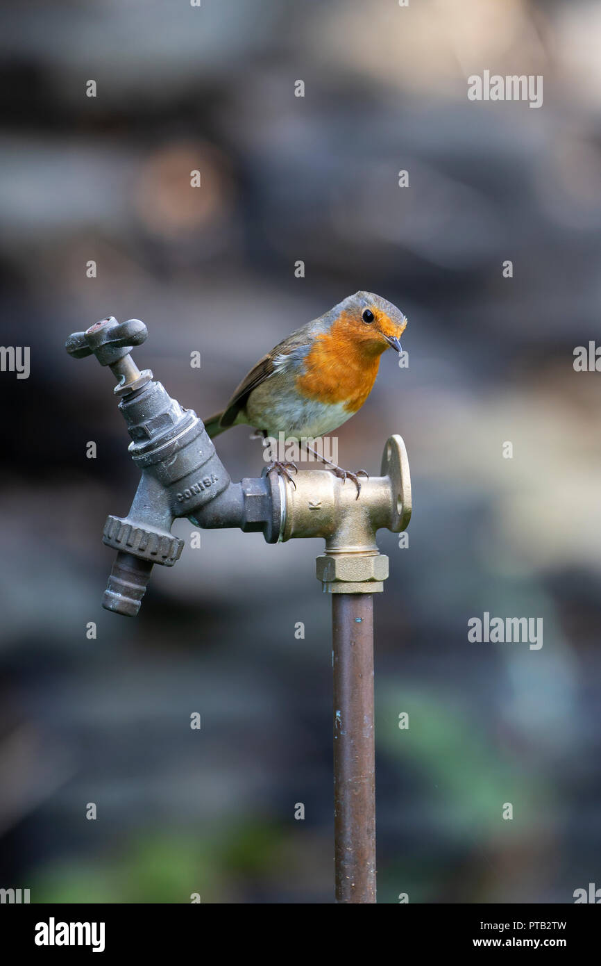 European Robin Erithacus rubecula perched on a garden water tap at a jaunty angle. - Stock Image