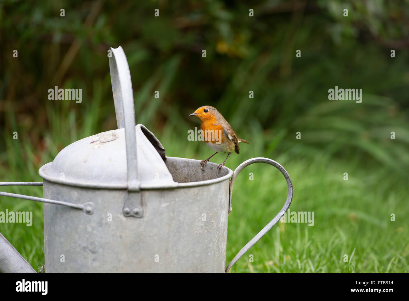 European Robin Erithacus rubecula perched on the rim of an old galvanised watering can - Stock Image