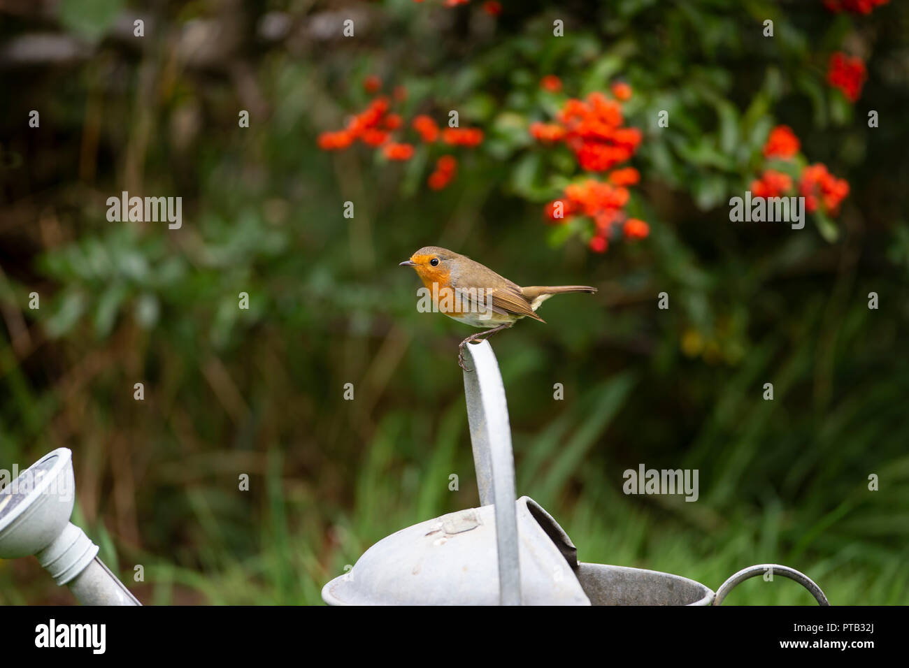 European Robin Erithacus rubecula perched on the handle of an old galvanised watering can - Stock Image