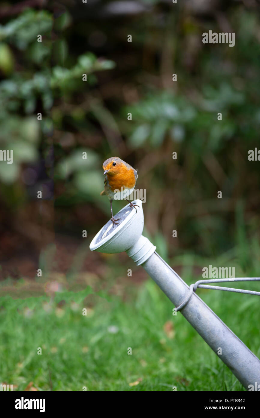 European Robin Erithacus rubecula perched on the rose of an old galvanised watering can - Stock Image