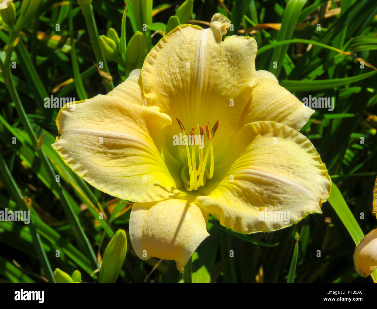 Day lily in flower in a back garden in Cardiff, South Wales, UK - Stock Image
