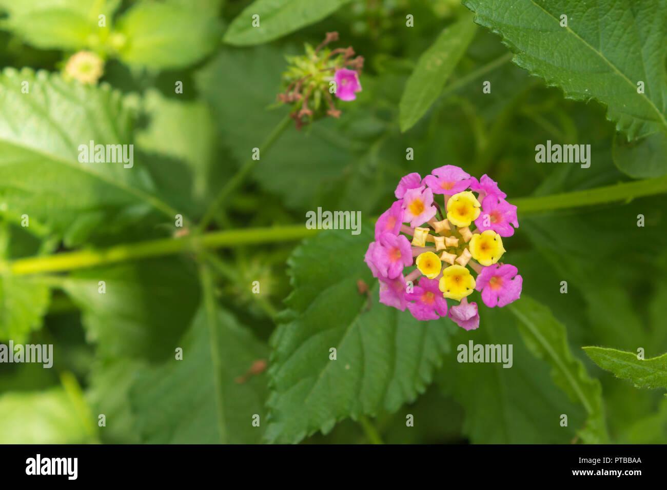Lantana camara flower, October 2018, Spain Stock Photo