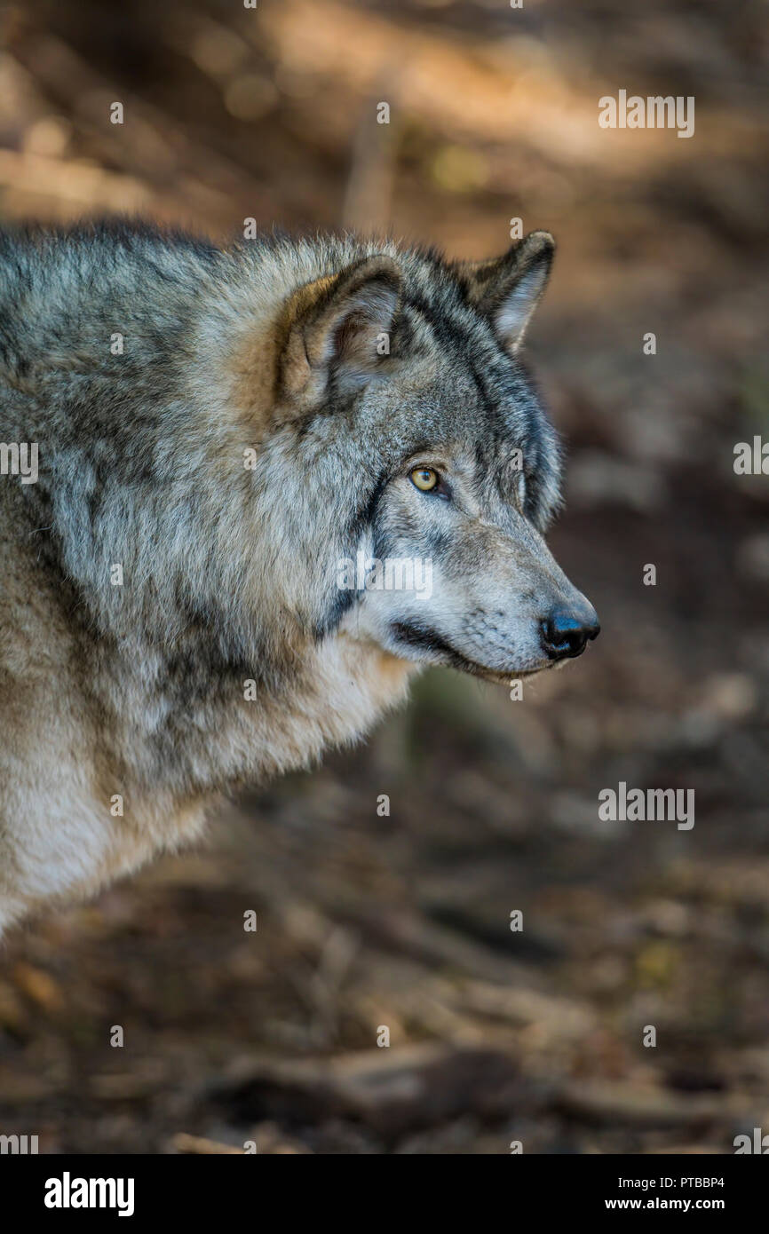 Portrait of a Gray or Timber Wolf. The wolf is looking to the right. The background is brown dirt. - Stock Image
